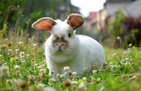 Зеленый корм для кроликов у себя на участке