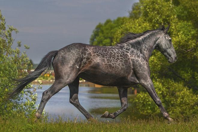 Карачаевская лошадь относится к перечню кавказских конных пород.