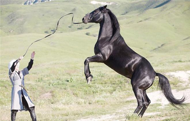 Строение тела у карачаевской лошади крупное