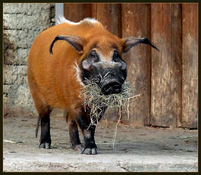 У кистеухих свиней черная морда