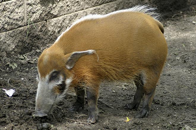 Кистеухая свинья водится в теплом климатическом поясе