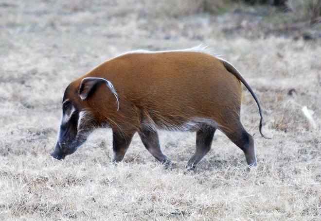 Кистеухая свинья ест млекопитающих