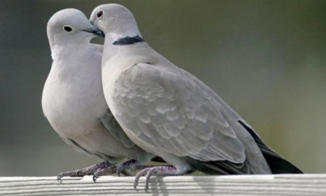 Во время брачных игр птицы чистят перья.