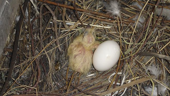 Птенцы рождаются с опереньем