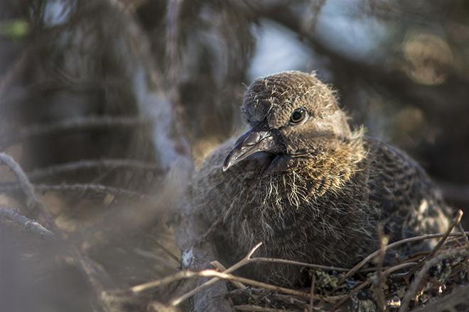 Птенцы живут в гнезде три недели