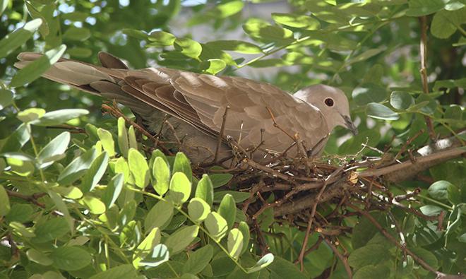 Горлянка может использовать прошлогодние гнезда