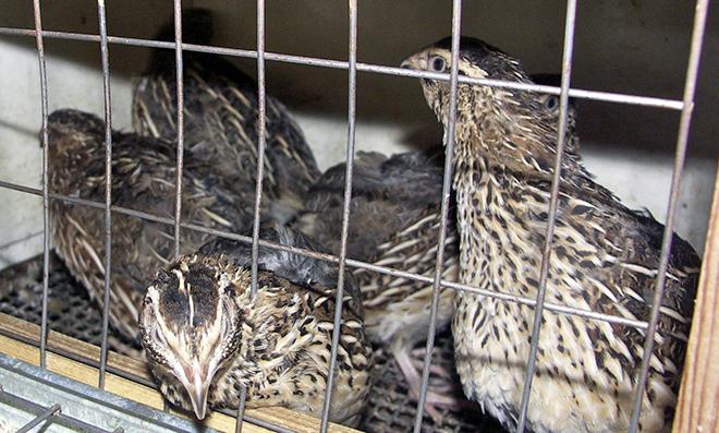 При правильном кормлении у птицы высокий забойный вес