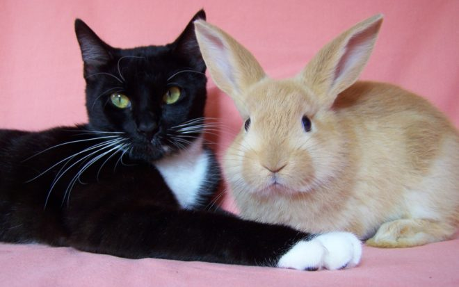 Коты охотятся на кроликов