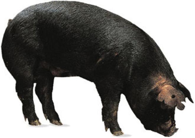 Черные большие свинья выведены селекцией.