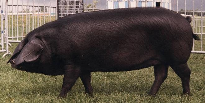 Рацион свиней должен быть разнообраным.