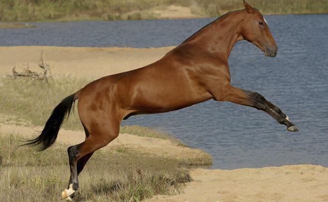 В Америке проводятся конные соревнования для иноходчев