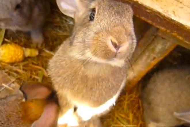 Кукурузу кроликам нужно давать ограниченно