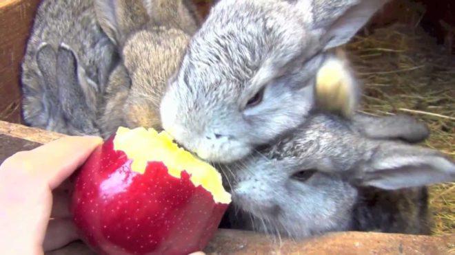 Нельзя давать кроликам неспелые яблоки