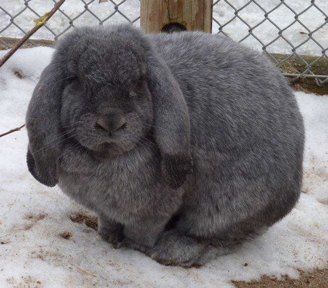Кроликов нужно выгуливать