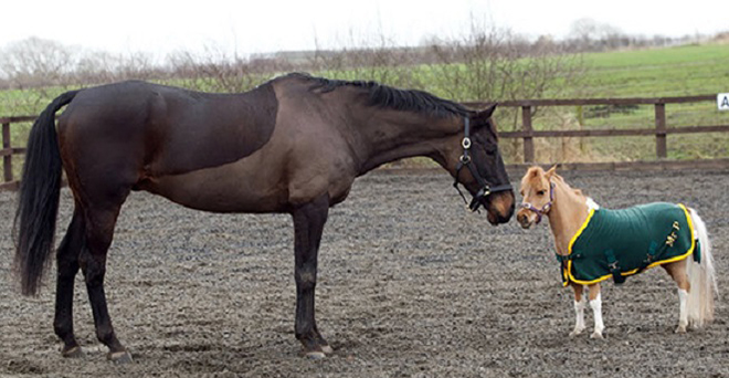 Карликовые лошади - результат селекции