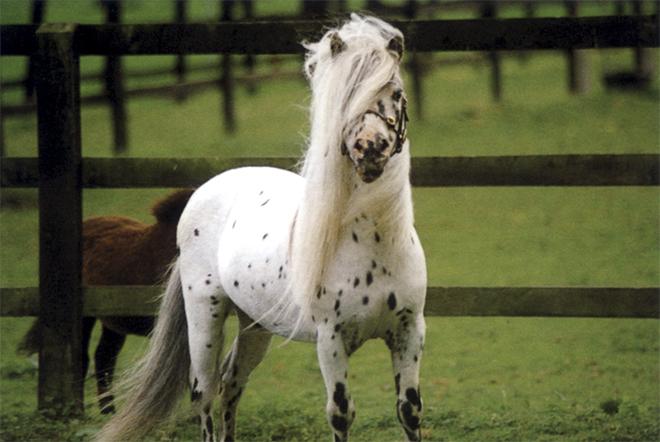 Порода Фалабелла выведена как копия обычной лошади