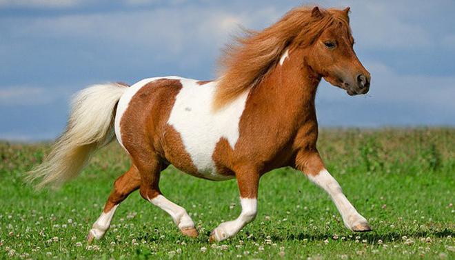Мини версия шетлендского пони неприхотлива в содержании