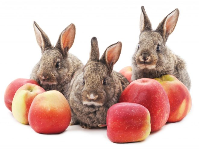 Яблоки кроликам можно в ограниченном количестве