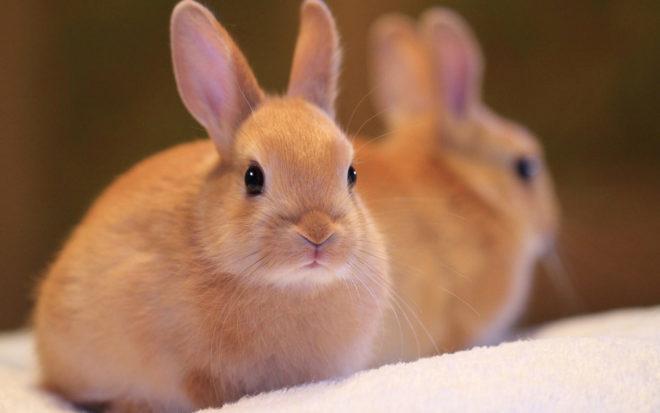 При пододерматите состояние кролика ухудшается