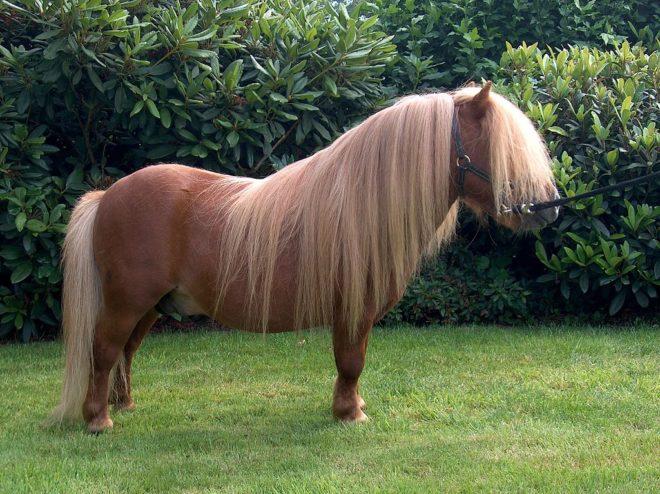 Рос пони влияет на вес лошади