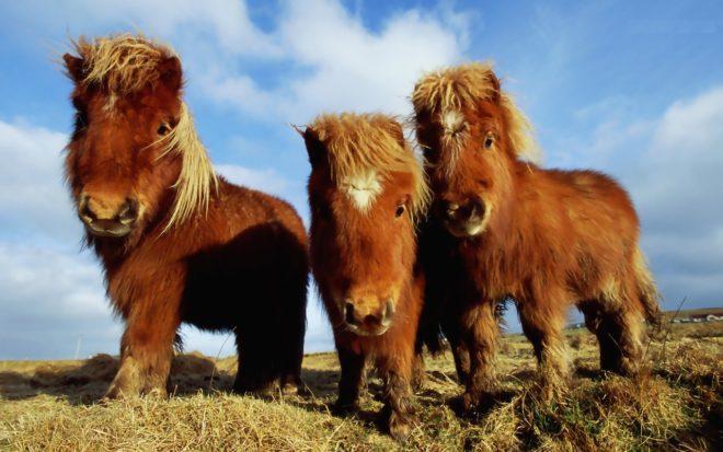 Пони использовались в хозяйстве