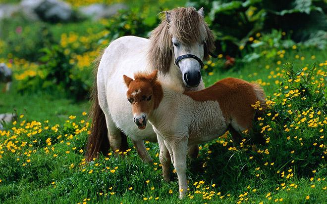 Пони рождаются способными к передвижению