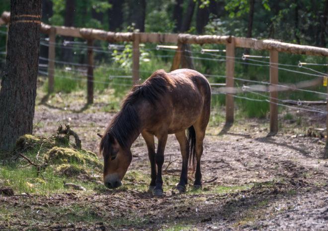 Эксмурский пони имеет чистокровную породу