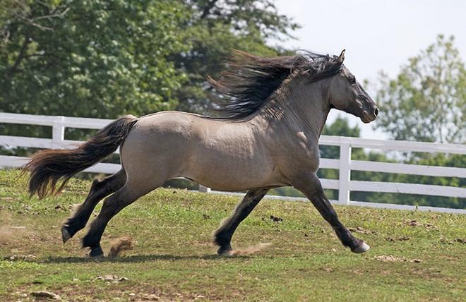 Шотландские пони очень выносливы