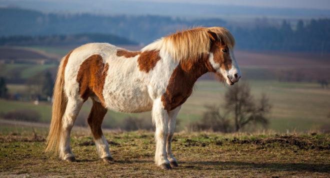 Исландские пони - потомки скандинавских лошадей