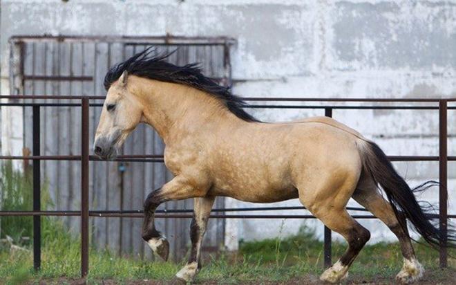 Шерсть у лошади саврасой масти светлая