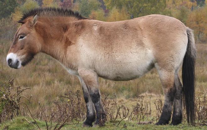 По строению черепа лошадь Пржевальского похожа на осла