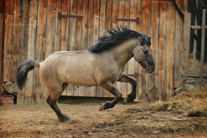 Башкирская порода лошадей относится к саврасой масти