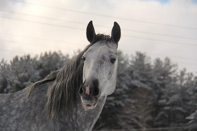 В основном терцы серебристо-серые кони