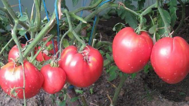 Перед высадкой в грунт томатов надо сделать опоры