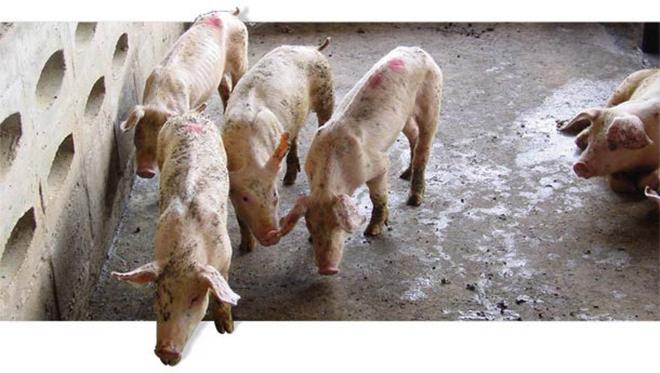 Цирковирусной инфекции свиней подвержены поросята