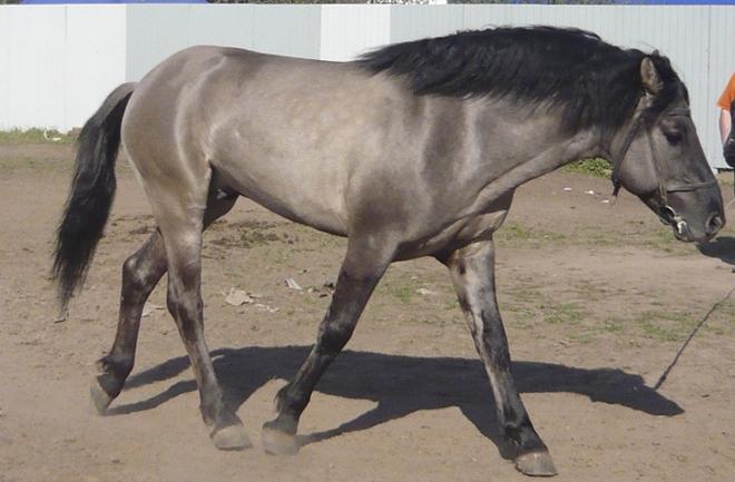 Окрас вятской лошади имеет темные полосы на спине и плечах