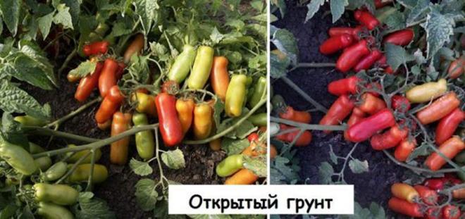 У сорта Жигало вытянутой формы плоды