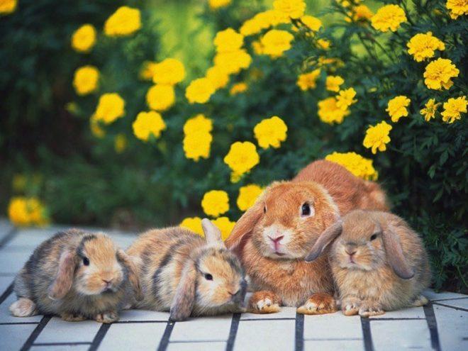 При беременности крольчиха начинает строить гнездо