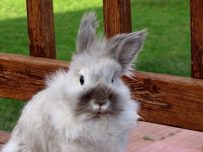 Эти кролики контактные и легко уживаются с другими животными