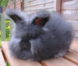 Алтайский ангорский кролик