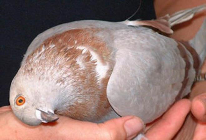 Вертячка голубей может передаваться людям