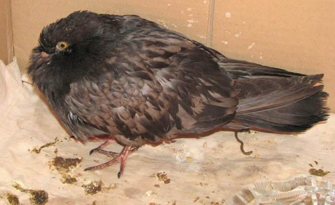 Трихомоноз у голубей может появляться из-за неправильных условий содержания
