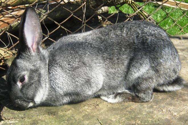Кроликов мясных пород несложно выращивать