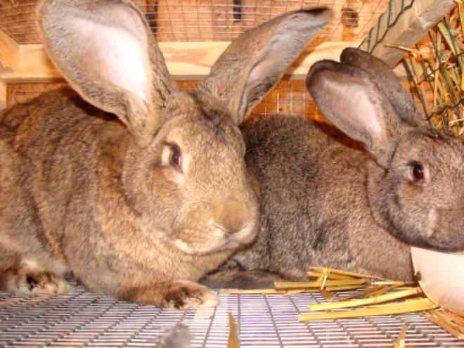 Кроли-бройлеры используются для улучшения породы