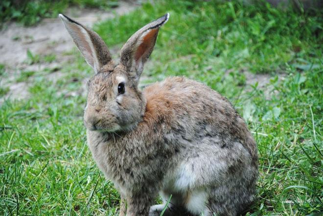 Крольчиха в ожидании окрола должна хорошо питаться