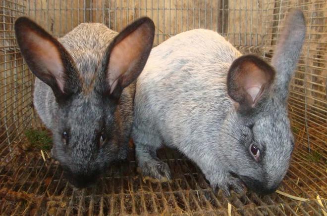 Контактирующим с больными животным назначают профилактическое лечение