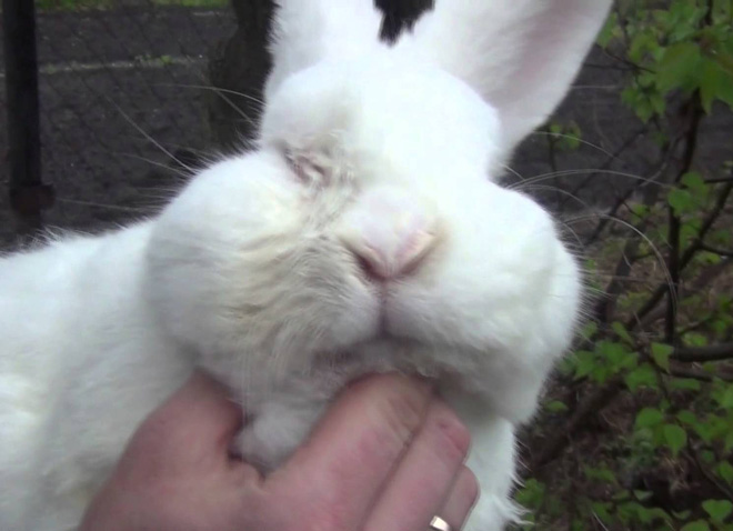 Во время болезни у кроликов вірабатівается иммунитет от мокреца