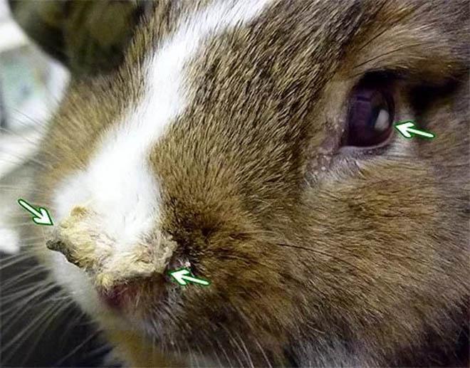 Пастереллез - опасная болезнь кроликов