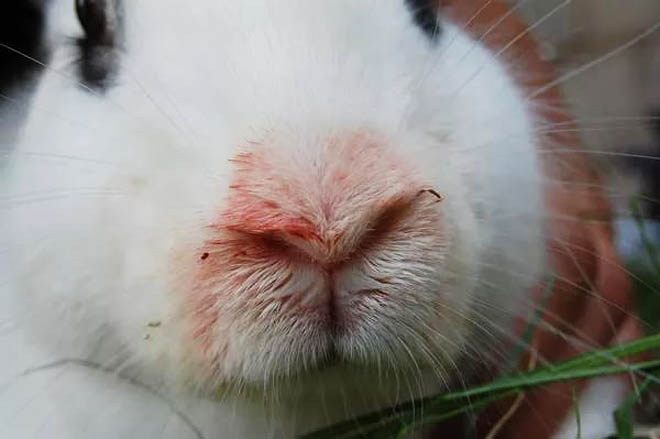 Крольчата болеют пастереллезом, если не питаются молоком матери