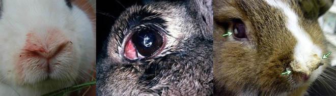 У кроликов при пастереллезе появляются покраснения глаз